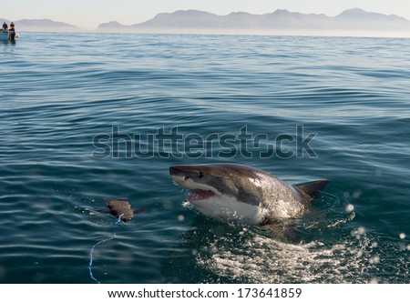 Great White Shark (Carcharodon carcharias) attack - stock photo