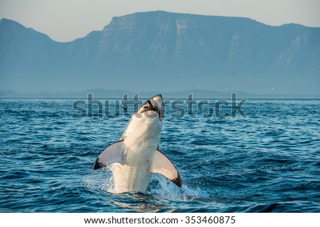 Great White Shark (Carcharodon carcharias) breaching in an attack on seal and  swallowed a seal. Hunting of a Great White Shark (Carcharodon carcharias). South Africa - stock photo