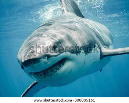 Great white shark close up smiling and swimming front in the blue Pacific Ocean at Guadalupe Island in Mexico - stock photo