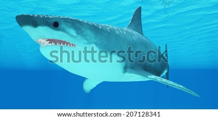 Great White Shark Close-up - The Great White Shark is an apex-predator and has several sets of teeth which replace themselves continuously. - stock photo