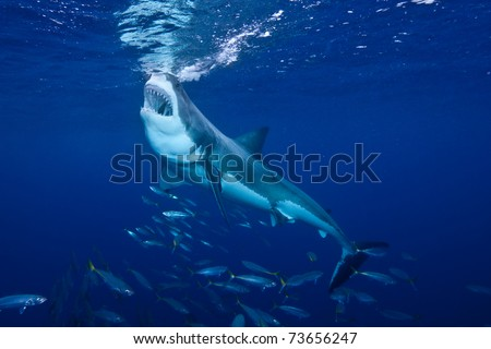 Great_White_Shark_Feeding_at_Guadalupe_Island_Mexico - stock photo