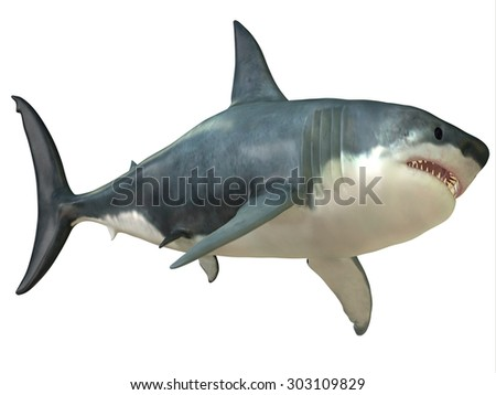 Great White Shark Female - The Great White shark can grow over 8 meters or 26 feet and live to 70 years of age. - stock photo