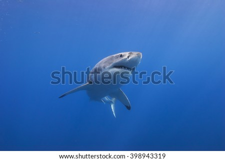 Great white shark from below head-on in clear blue water. - stock photo