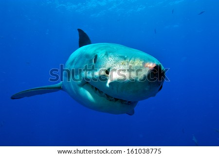 Great White Shark frontal / curious white shark swims to the divers in the cage - stock photo