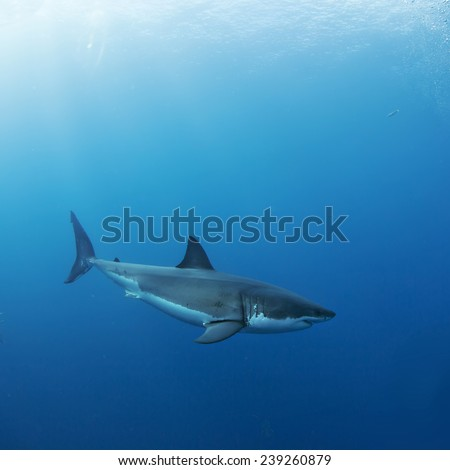 Great White Shark in Blue side view - stock photo