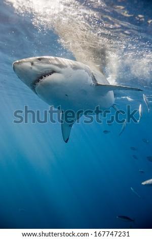 Great white shark near surface. - stock photo