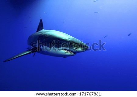 Great white Shark posing in the deep blue water - stock photo
