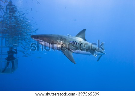 Great white shark sideways with pilot fish in clear blue water. - stock photo