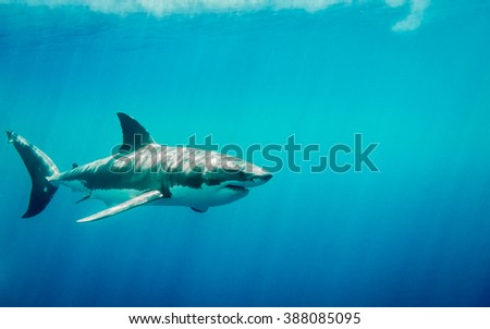 Great white shark swimming in the blue Pacific Ocean  at Guadalupe Island in Mexico under sun rays - stock photo