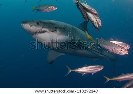great white shark swimming upwards passed fish - stock photo