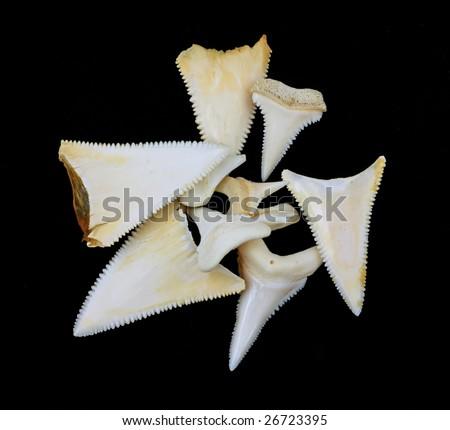 Great white shark teeth - stock photo