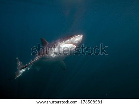 Great White Shark Underwater Photo  - stock photo