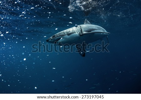 Great White Shark Underwater Photo in Open Water - stock photo