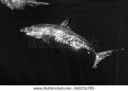 Great White shark while coming to you on deep blue ocean background in black and white