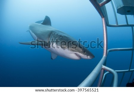 Great white shark with diving cage in clear blue water. - stock photo