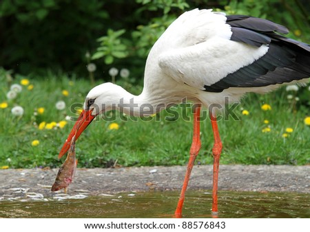 Great white stork eating fish - stock photo