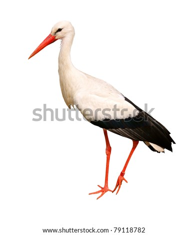 Great white stork, isolated on background