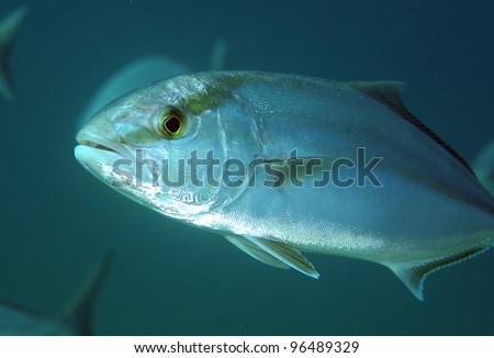 Greater Amberjack fish swimming in open water. - stock photo