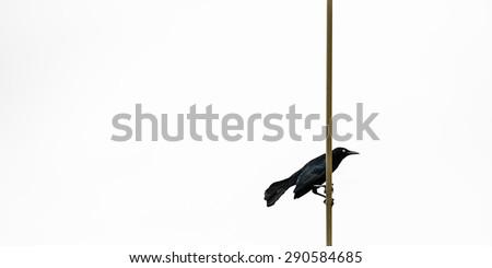 GREATER ANTILLEAN GRACKLE BLACK BIRD IN TRINIDAD AND TOBAGO - stock photo