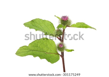 Greater Burdock, Arctium lappa, flowers and foliage isolated against white - stock photo