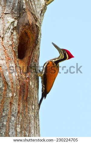 Greater flame back male woodpecker in nature blue background. - stock photo
