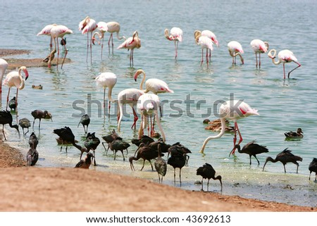 Greater Flamingo in water - stock photo