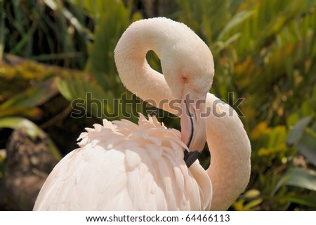 Greater flamingo is preening feathers
