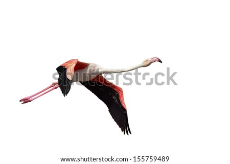 Greater Flamingo, Phoenicopterus roseus flying over the salt works just north of Swakopmund, Namibia. Isolated on a white background, copy space. - stock photo