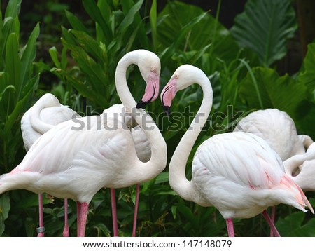 Greater Flamingo (Phoenicopterus roseus) in very romantic heart shapre showing love care - stock photo