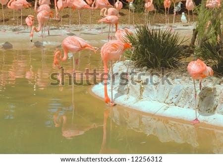 Greater Flamingo (Phoenicopterus roseus) is the most widespread species of the flamingo family. - stock photo