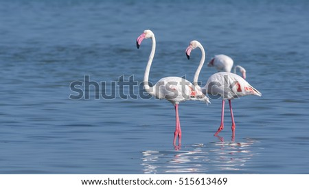 Greater flamingo wandering in the shallow sea water at low tide - Bahrain