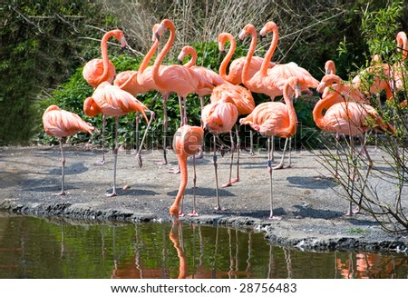 Greater Flamingos in park Avifauna, the Netherlands