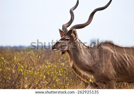Greater kudu in Kalahari desert of Botswana. - stock photo
