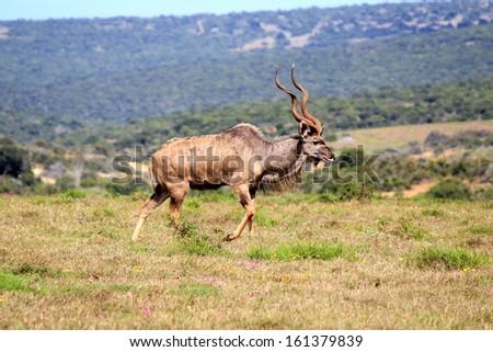 Greater Kudu male - stock photo