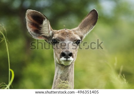 Greater Kudu, Tragelaphus strepsiceros, female portrait, wet season, Kruger National Park, South Africa