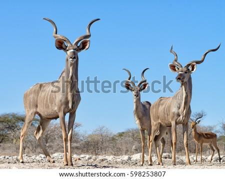 Greater kudus (Tragelaphus strepsiceros) viewed from a ground level hide in Onguma bordering Etosha National Park, Namibia