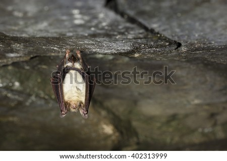 Greater mouse-eared bat hanging on the top of the dark cave while hibernating with colored bokeh in the background. Close up wildlife photography. - stock photo