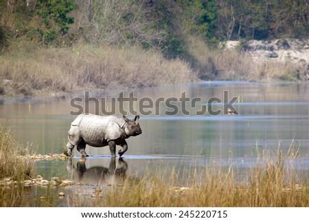 Greater one-horned rhinoceros specie Rhinoceros unicornis in Bardia, Nepal   - stock photo