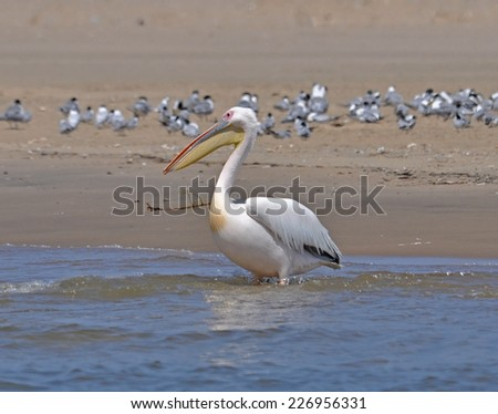 Greater Pelican on the Namibian coast, Atlantic Ocean