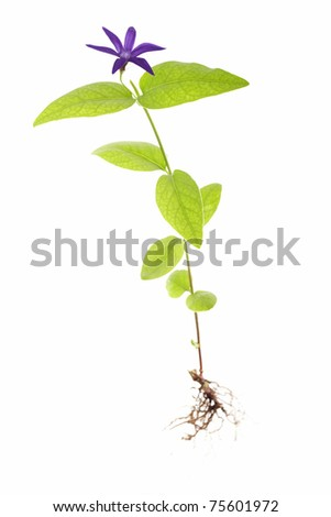 greater periwinkle vinca major oxyloba isolated on white background