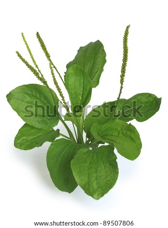 "Greater Plantain (Plantago major or ""Soldier's Herb"") on a white background"