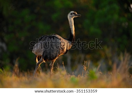 Greater Rhea, Rhea americana, Big bird with fluffy feathers, animal in the nature habitat, evening sun, Pantanal, Brazil  - stock photo
