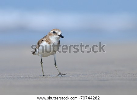 Greater Sand Plover on Goa Beach /Good mood of small plover on Mandrem beach in Goa (India) - stock photo