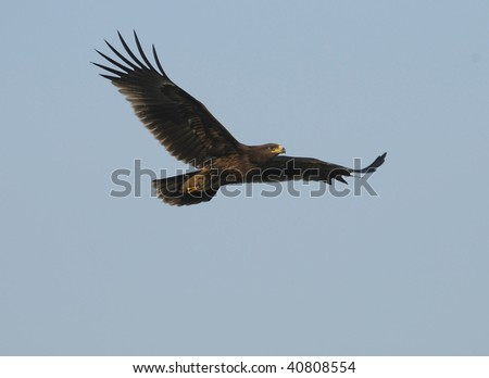 Greater Spotted Eagle In Flight - stock photo