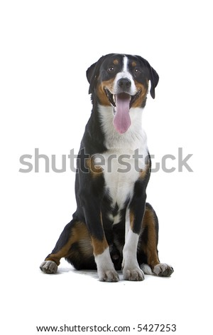 Greater Swiss Mountain Dog sitting down and looking into the camera