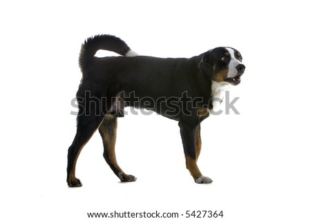 Greater Swiss Mountain Dog standing, isolated on a white background