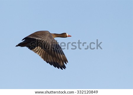 Greater White-fronted Goose, a.k.a. Specklebelly Goose, in flight against a blue sky Anser albifrons Goose and duck hunting in the Pacific and Central Flyways - stock photo