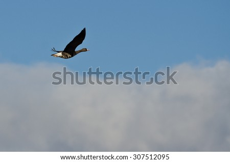 Greater White-Fronted Goose Flying High Above the Clouds