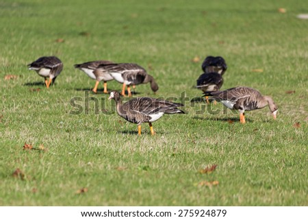 Greater White fronted Goose in vancouver  - stock photo