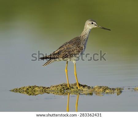 Greater Yellowlegs (Tringa Melanoleuca) on the pond. Cuba - stock photo